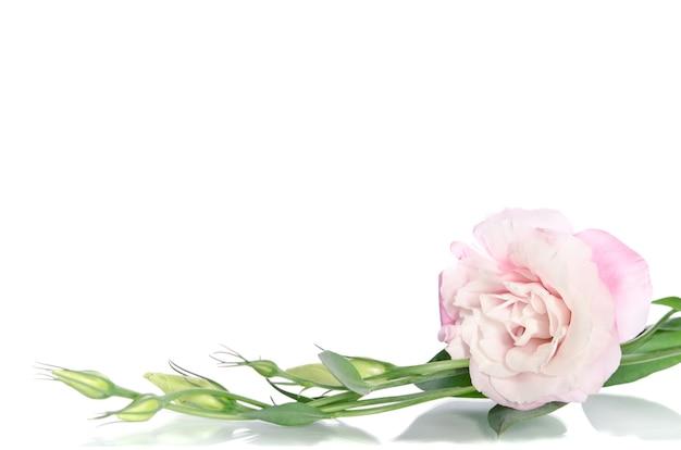 Lindas flores de eustoma com folhas e botões em branco