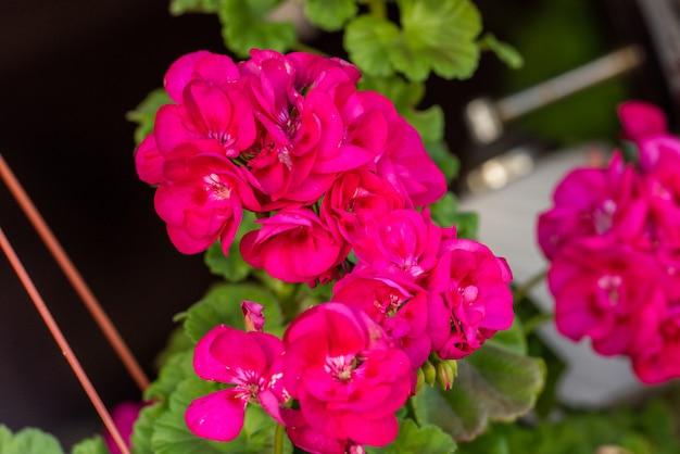 Lindas flores de gerânio