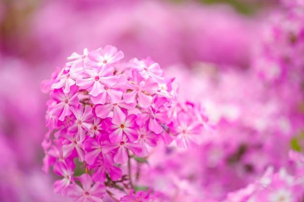 Lindas flores de hortênsia rosa no jardim