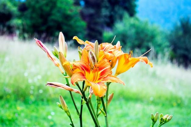 Lindas flores de lírio laranja no jardim