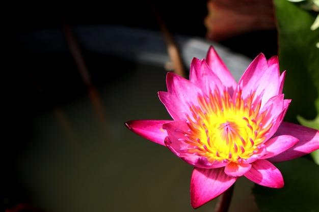 Lindas flores de lótus em tropical