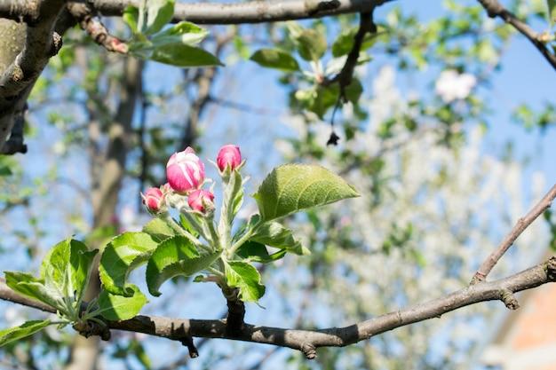 Lindas flores de macieiras. fundo com flores florescentes no dia da primavera.