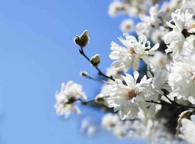 Lindas flores de magnólia brancas em galhos no céu azul