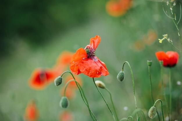 Lindas flores de papoula vermelhas na vegetação.