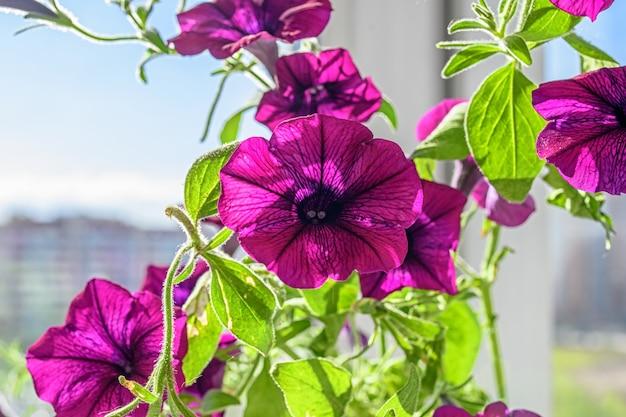 Lindas flores de petúnia no parapeito da janela.