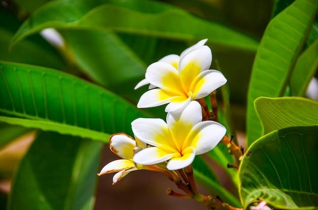 Lindas flores de plumeria em um hotel na costa do egito