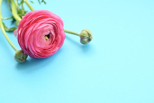 Lindas flores de ranúnculo rosa em uma superfície azul