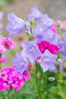 Lindas flores de sino lilás florescem no verão no jardim