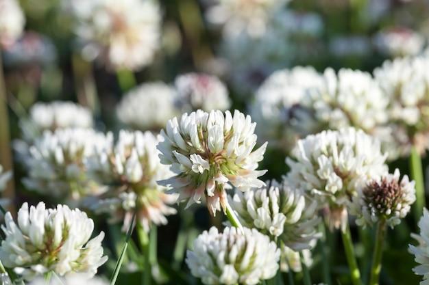 Lindas flores de trevo branco
