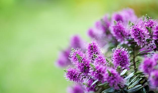 Lindas flores de veronica