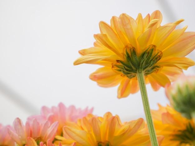 Lindas flores desabrochando crisântemo com folhas verdes no jardim