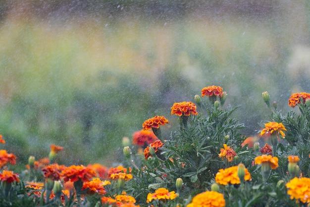 Lindas flores e folhas de calêndula durante a rega