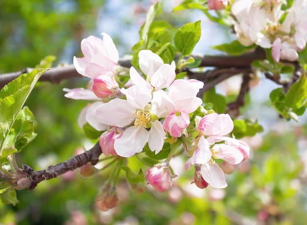 Lindas flores em um galho de uma macieira