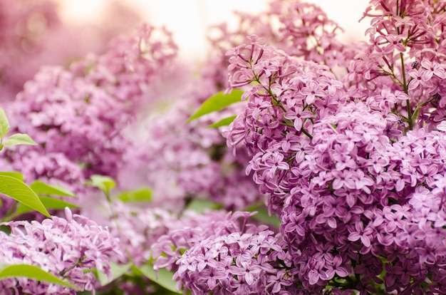 Lindas flores lilás roxas. foto macro de flores lilás da primavera.