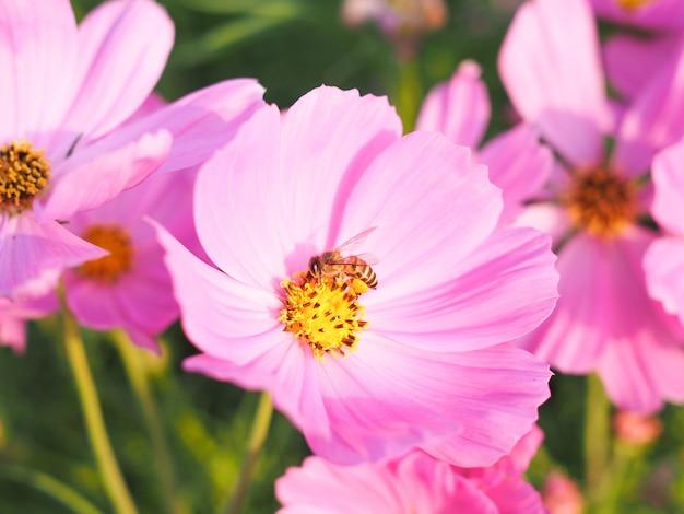 Lindas flores no jardim com flor de cosmos rosa e abelha no pólen.