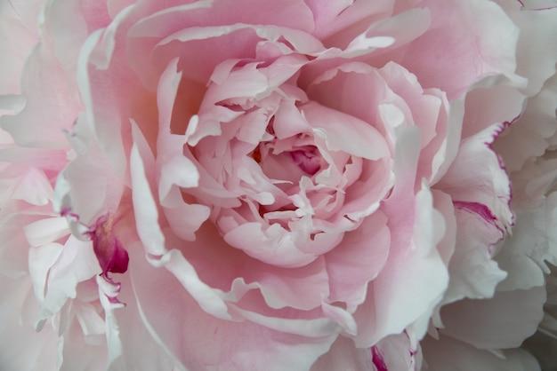 Lindas flores, peônias. buquê de fundo rosa peônia.