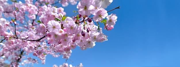 Lindas flores rosa de cerejeira florescendo no céu azul claro