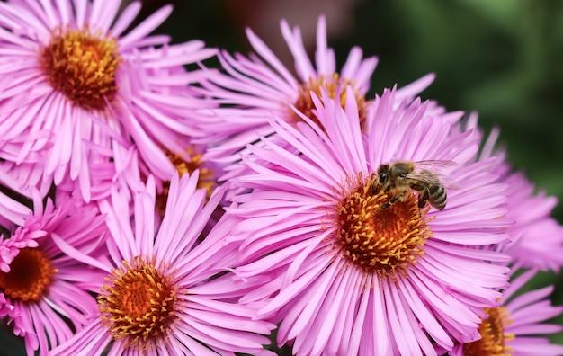Lindas flores rosas de outono aster com uma abelha no jardim