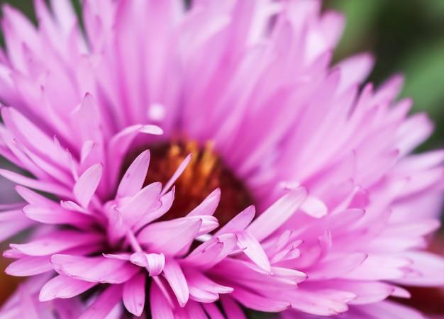 Lindas flores rosas de outono aster no jardim
