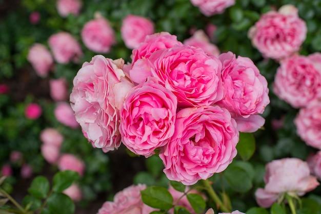 Lindas flores rosas plantas em um jardim botânico na natureza