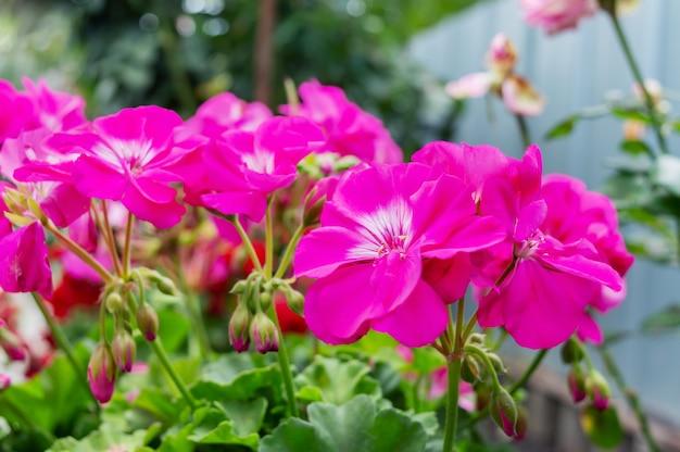 Lindas flores roxas de gerânio no fundo da natureza.