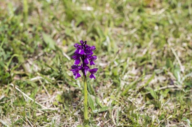 Lindas flores roxas em um prado verde na primavera
