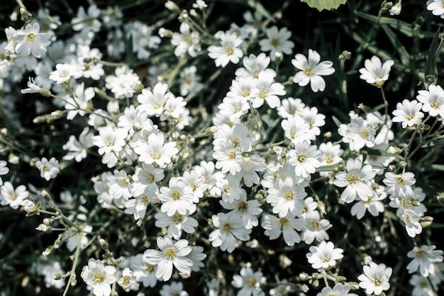 Lindas flores silvestres brancas em um dia ensolarado. vista superior, configuração plana.