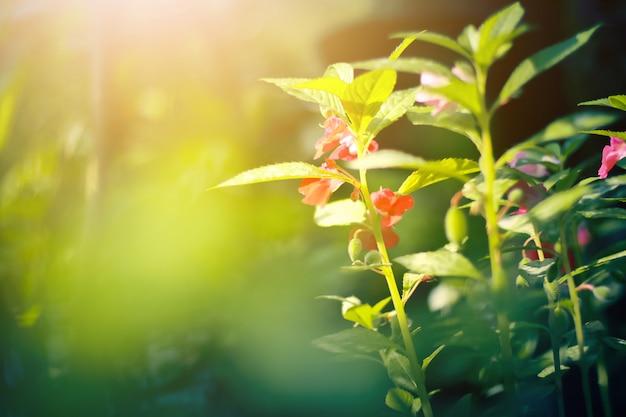 Lindas flores vermelhas com luz do sol no fundo da natureza