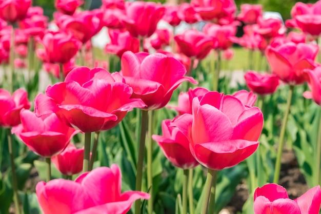 Lindas flores vermelhas tulipas no jardim. fundo de verão