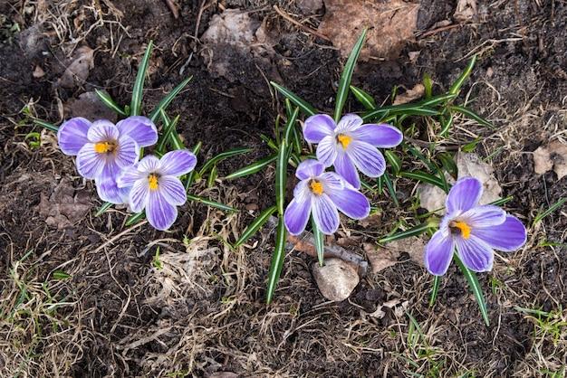 Lindas flores violetas de açafrão no jardim