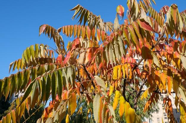 Lindas folhas amarelas e vermelhas em uma árvore contra o céu azul em um dia ensolarado e quente de outono