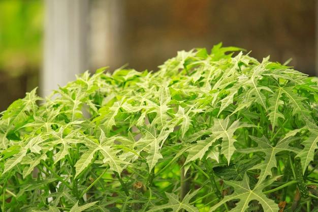 Lindas folhas de casava