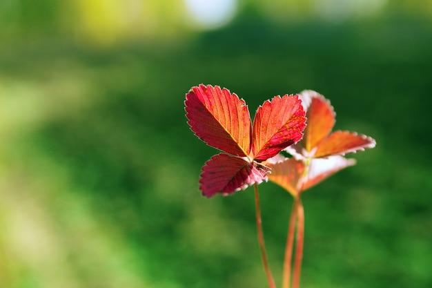 Lindas folhas de morango silvestre