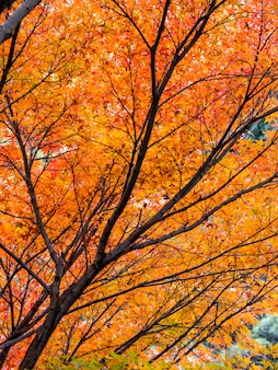 Lindas folhas de outono no japão
