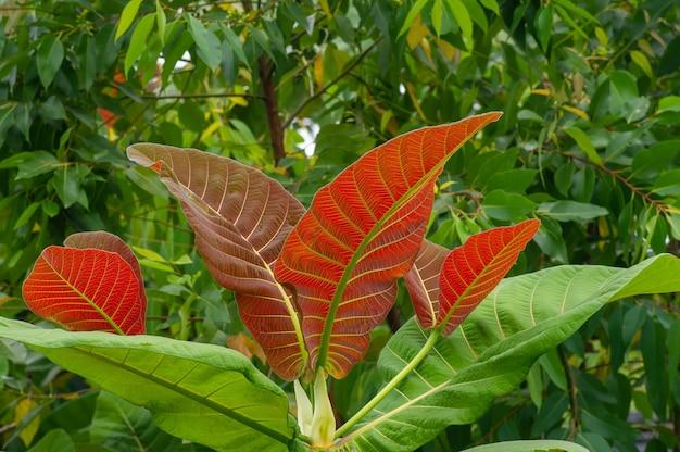 Lindas folhas jovens da planta jabon (anthocephalus macrophyllus), uma das espécies indígenas pioneiras de rápido crescimento na indonésia