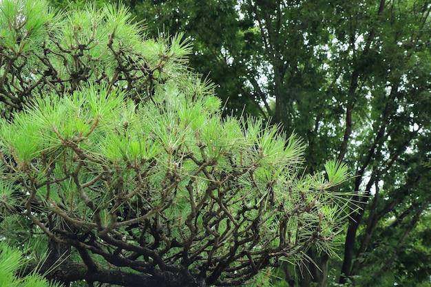 Lindas folhas verdes dos pinheiros khasiya no verão