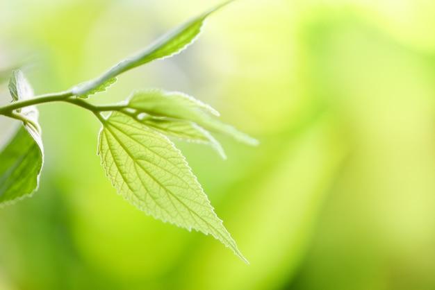 Lindas folhas verdes na árvore com foco suave de luz solar e árvore de borrão / close up folha para natureza verde