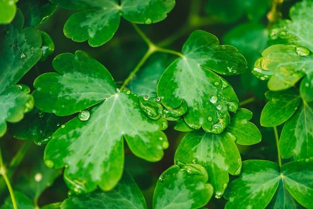 Lindas folhas verdes vivas de aquilegia com gotas de orvalho.