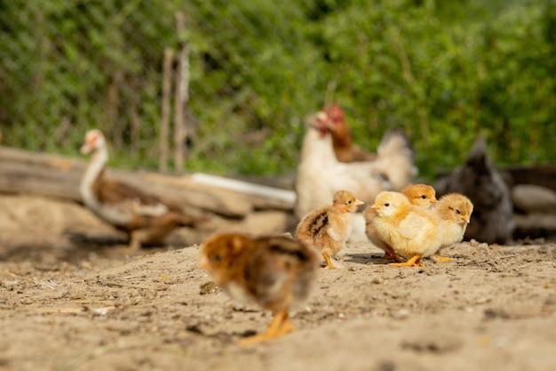 Lindas galinhas e galinhas