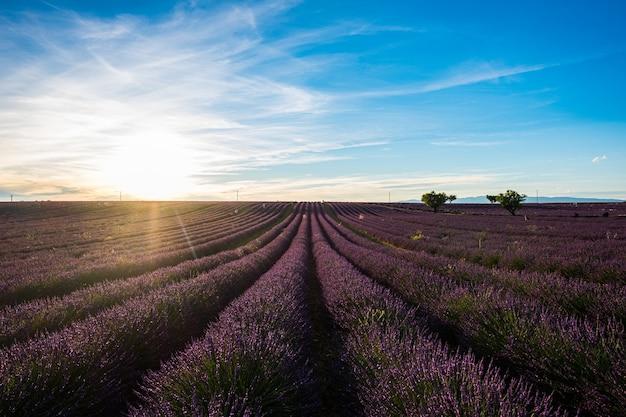 Lindas linhas de flores em um campo roxo de lavanda com o sol no fundo viajam para lugares incríveis.