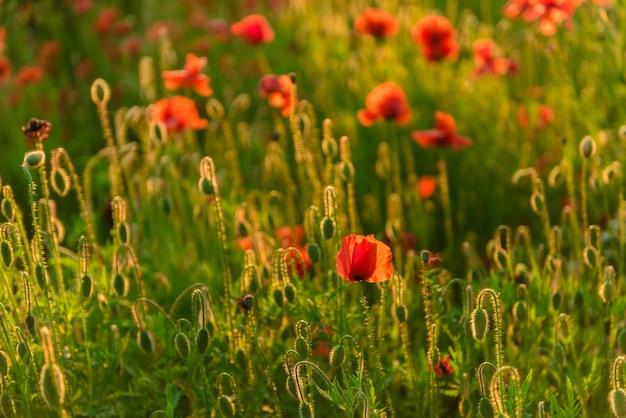 Lindas papoulas vermelhas desfocadas em um campo verde lindo de verão.