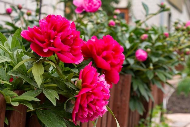 Lindas peônias rosa florescendo em um canteiro de flores