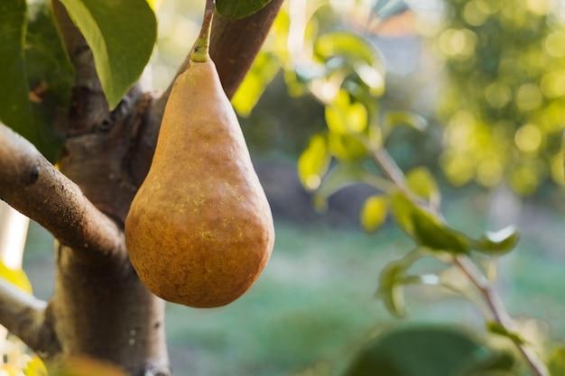 Lindas peras maduras frescas penduradas em um galho no pomar para comida ou suco. eco, produtos agrícolas. colheita de outono ao pôr do sol.