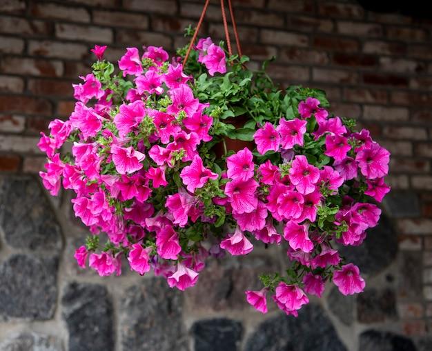 Lindas petúnias roxas penduradas em vasos ao ar livre no verão