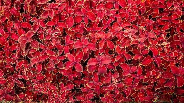 Lindas plantas com folhas vermelhas brilhantes