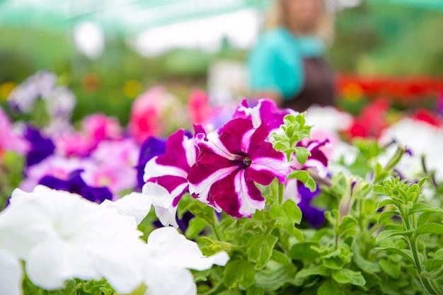 Lindas plantas de petúnia em flor em vasos
