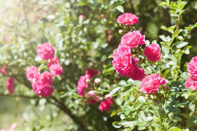 Lindas rosas cor de rosa no jardim