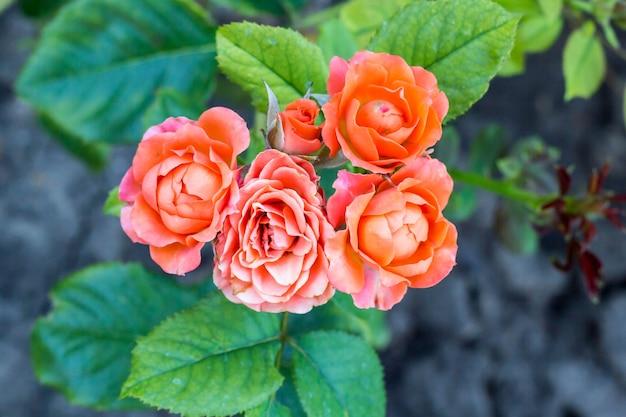 Lindas rosas de escalada rosa na primavera no jardim