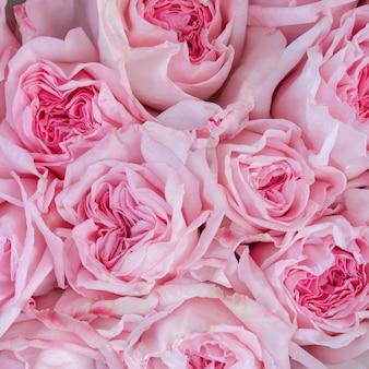 Lindas rosas desabrochando de diferentes tons de cor-de-rosa.