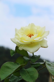 Lindas rosas está florescendo no jardim